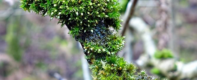Bryophyte Survey Orthotrichum pulchellum