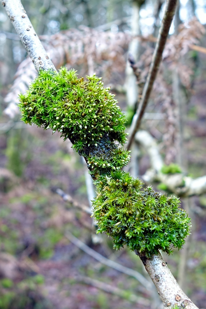 Bryophyte Survey Alderley Edge