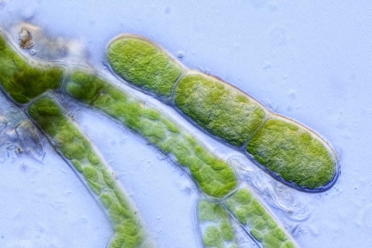 Scopelophila cataractae gemma